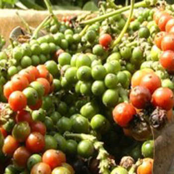 Indian pepper fell $ 1,200 a tonne within a month